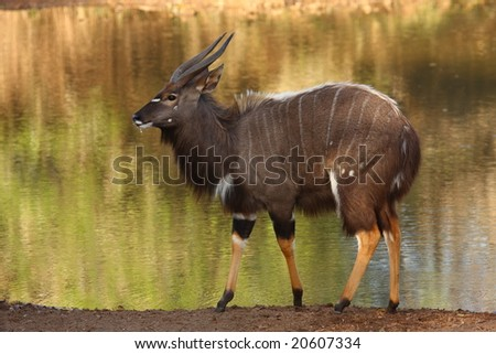 Nyala bull with the waterhole as a back ground. - stock photo