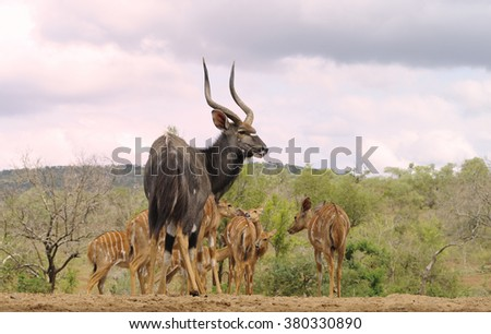 Nyala (Tragalaphus angasi). A male ushers his harem back into the bush after  drinking at a waterhole. Zululand, South Africa - stock photo