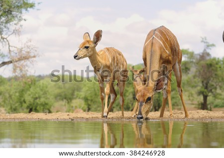 Nyala (Tragalaphus angasii) A trio of nyala ewes drink at a waterhole in the Zululand sand veld. Pongola, South Africa - stock photo