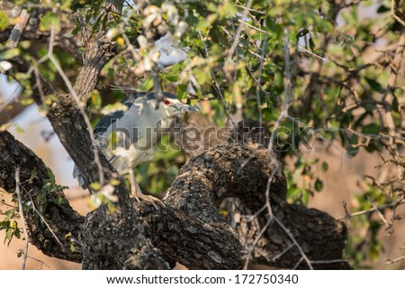 Nycticorax nycticorax. Black-crowned Night Heron camouflaged - stock photo