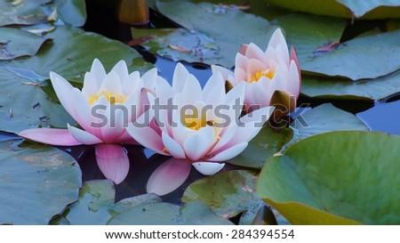 Nymphaea alba - Aquatic vegetation, water plants - stock photo