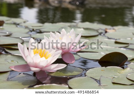 Nymphaea alba Hollandia, European white water lily, water rose, nenuphar in bloom