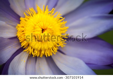 Nymphaea - beautiful water lily from Kew Gardens - Kew's stowaway blues. Beautiful details and colors - stock photo