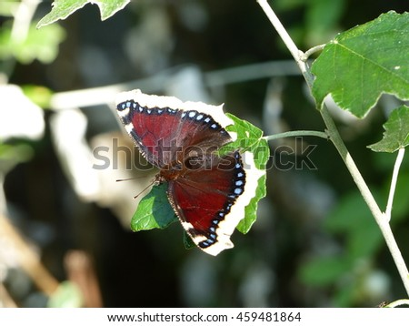 Nymphalis antiopa, known as the mourning cloak in North America and the Camberwell beauty in Britain, is a large butterfly native to Eurasia and North America.