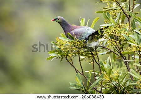 NZ Wood Pigeon/ a new zealand native wood pigeon, perched in a tree  - stock photo