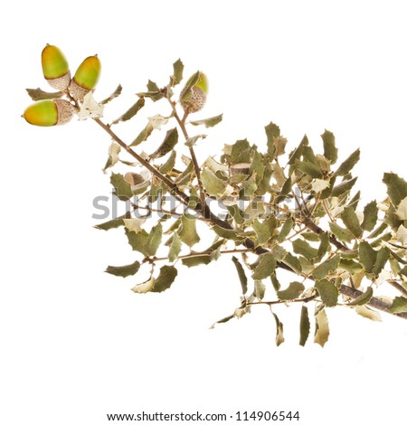 Oak, a big branch with leaves and a few acorns, growing in Spain isolated on white background