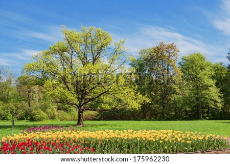 Oak and bed with tulips in spring park - stock photo