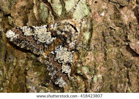 Oak beauty moth (Biston strataria). British insect in the family Geometridae, the geometer moths