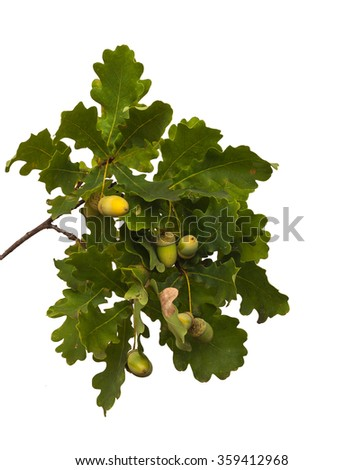 Oak branch with acorns on a white background isolation - stock photo