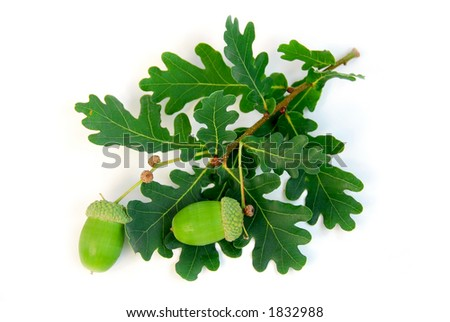 Oak branch with acorns on white background - stock photo