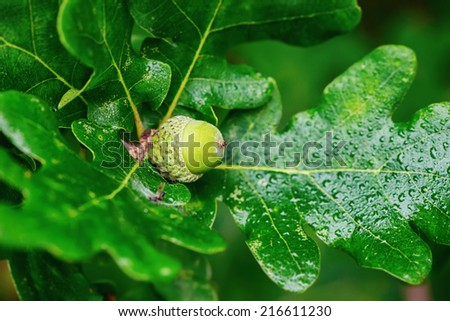 Oak branch with green acorn, closeup in Sweden  - stock photo