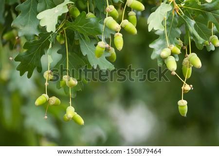 Oak branch with green acorns - stock photo
