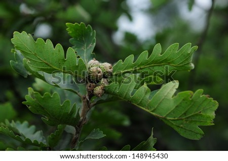 Oak branch with green acorns isolated on blur background - stock photo