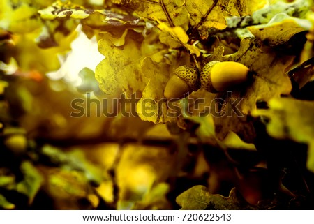 Oak branch with green leaves and acorns on a sunny day. Oak tree in summer. Blurred leaf background with bokeh lights. Closeup.