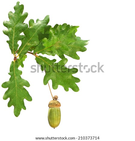Oak branch with leaves and acorns isolated on a white background - stock photo