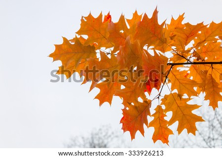 Oak branch with yellow autumn leaves