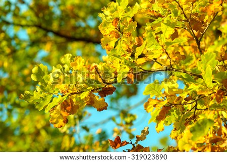 Oak branch yellow and green leafs foliage autumn blue sky background - stock photo