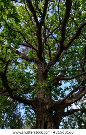 oak branches extending from the trunk in the shadows, summer 2016 - stock photo