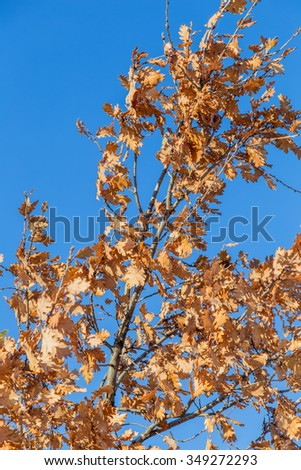 Oak branches with yellow autumn leaves against the blue sky. Made with selective focus.