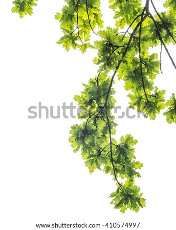 Oak foliage and branches , isolated on white background, border