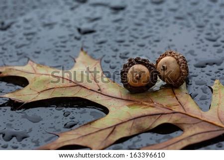 Oak leaf & acorns on rainy surface - stock photo