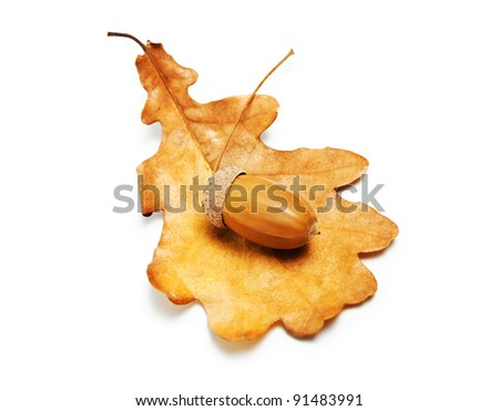 oak leaf and acorn on white background - stock photo