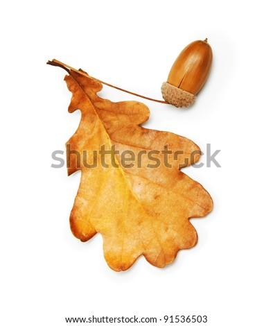 oak leaf and acorn on white background - stock photo