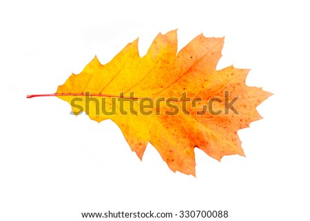 Oak leaf isolated on a white background. Fall series. - stock photo