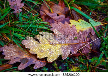 Oak leaf with dew drops in the grass. Autumn background. Shallow depth of field - stock photo