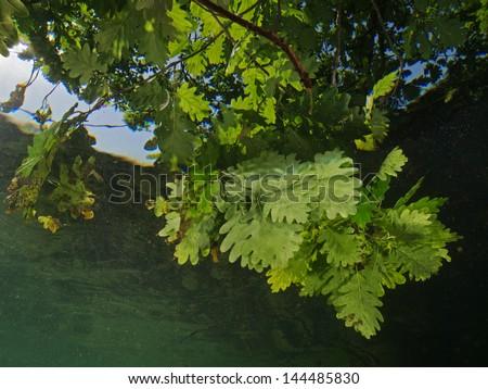 Oak leafs underwater - stock photo