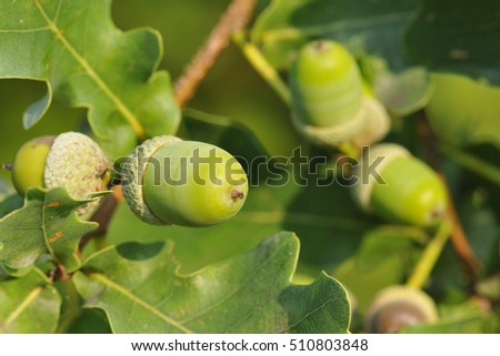 Oak leaves and fruits on a tree