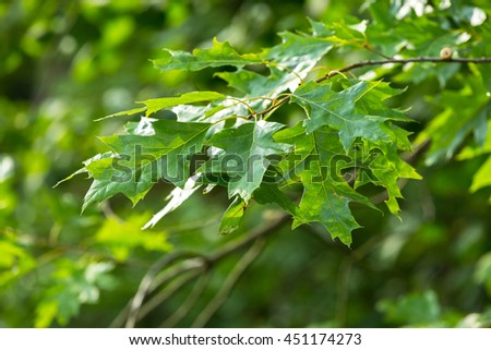Oak leaves background. Natural tree in polish forest.