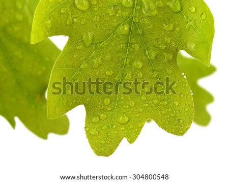 Oak leaves covered water drops isolated on white - stock photo