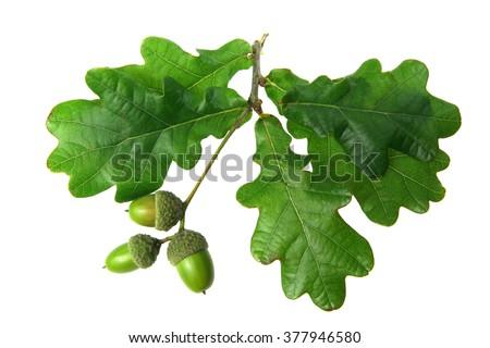 oak leaves - isolated - stock photo