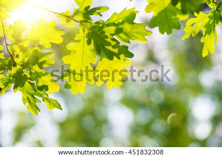 Oak leaves on a tree branch in the forest