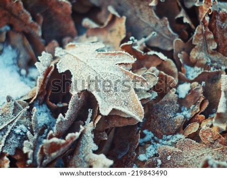 oak leaves with hoarfrost lying on the snow - stock photo