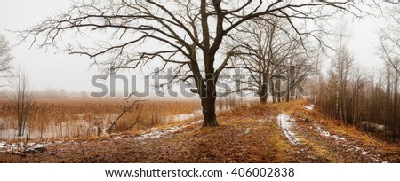 oak on the road in birch forest with melting snow - stock photo