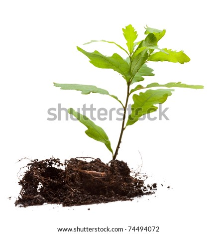 Oak sprout in earth pile isolated on white - stock photo