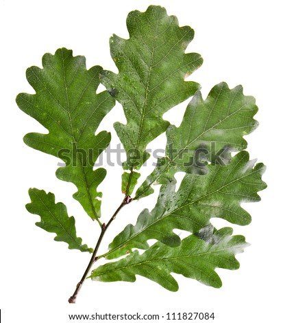 Oak tree green leaves  isolated over white background - stock photo