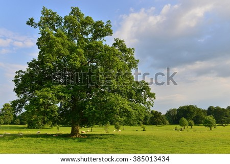 Oak Tree in a Green Field with a Forest in the Background - stock photo