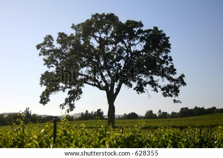 Oak tree in a vineyard - stock photo