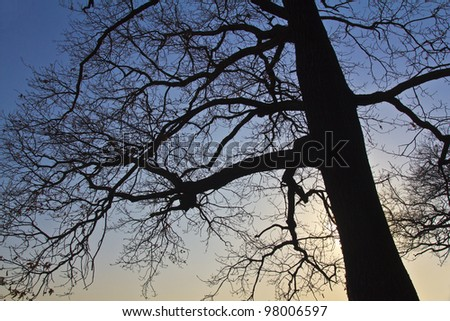 Oak tree in contre-jour during sunset