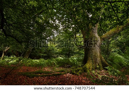 Oak tree in English forest surround by fall autumn leaves