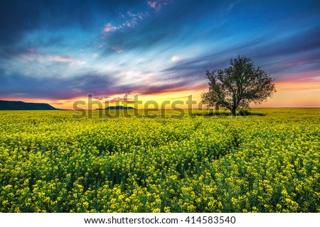 Oak tree in field of rape and sunset