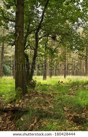 Oak tree in summer with pine forest in background - stock photo