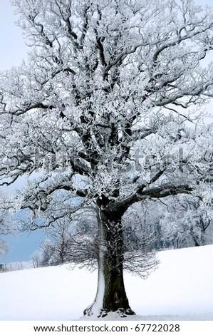 oak tree in winter - stock photo