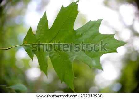 Oak tree Leaf - stock photo