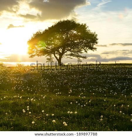 oak tree on dandelion meadow on sunset with cloudy Sky in spring in the Eifel national park - stock photo