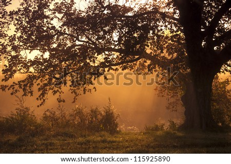 Oak tree standing alone - stock photo