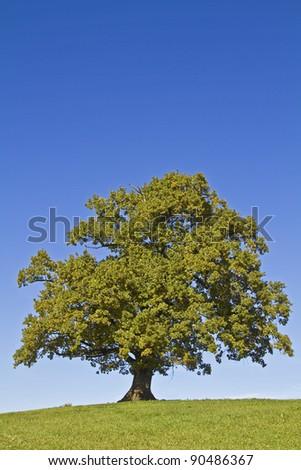 Oak tree standing alone on a green meadow - stock photo